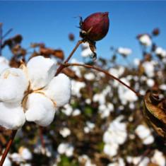 Seminte rare de Bumbac veritabil - Gossipium - 2 seminte pentru semanat