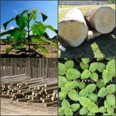 Paulownia Elongata seminte inalta calitate, certificate productie