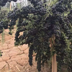 Goji negru seminte rare - Seminte de goji