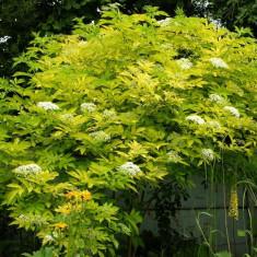 Sambucus nigra Aurea – soc galben