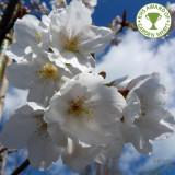 Prunus serrulata 'Tai haku' - Cires japonez