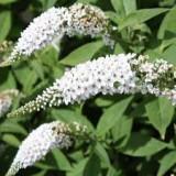 Buddleja davidii White Profusion - liliac de vara alb