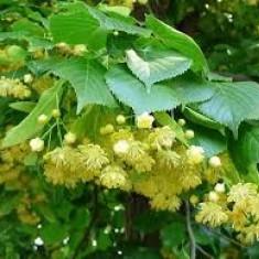 Tilia platyphyllos – tei cu frunza mare