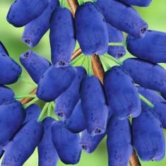Lonicera coerulea Kamtschatica Wojtek – fructe de miere, Honeyberry - Arbusti fructiferi
