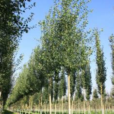 Populus tremula – plop tremurator