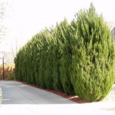 Juniperus chinensis Spartan – ienupar Spartan