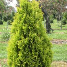 Thuja occidentalis Yellow Ribbon – tuia Yellow Ribbon