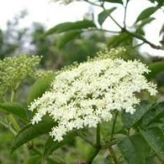 Sambucus nigra - soc - Pomi fructiferi