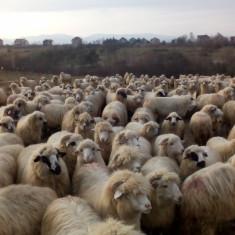 Oi de vazare: pe ales 200 de oi din 700 - Oi/capre