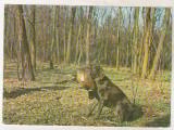Bnk cp Romania - Brac german cu parul scurt - cp necirculata, Printata