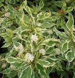 Cornus alba 'Argenteo - Marginata
