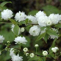 Prunus glandulosa Alba Plena – cires chinezesc