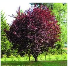 Prunus cerasifera Nigra - Corcodus ornamental rosu