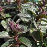Mentha piperita Chocolate Mint – menta Chocolate
