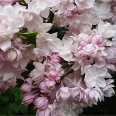 "Syringa vulgaris ""Krasavica Moskvy"" – liliac ""frumusetea Moscovei"""