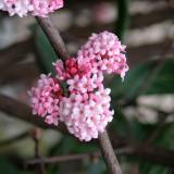Viburnum xbodnantense 'Dawn - Calin de iarna