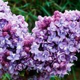 Syringa vulgaris 'Katherine Havemeyer' – liliac frantuzesc