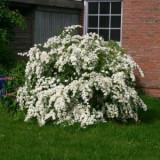 Spiraea vanhouttei – cununita, floarea miresii