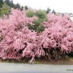 Tamarix ramosissima –- Catina rosie
