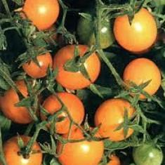 Seminte rosii cherry