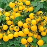 Seminte rosii ghiveci galbene
