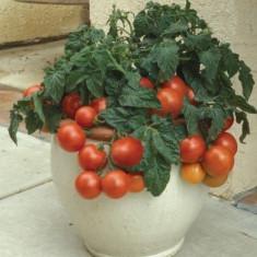 Seminte rosii ghiveci