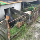 Purcei vietnamezii, Olt - Oi/capre