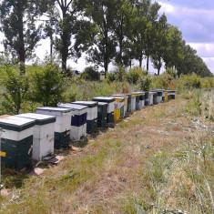 30 familii albine (15-20 R)cu tot cu lada si miere neextrasa. - Apicultura