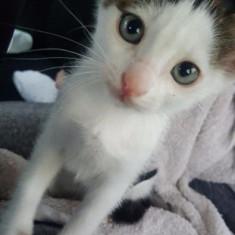 Căutam adoptator iubitor pentru Tomi (un pui dragalas de pisica) :D - Pisica de vanzare
