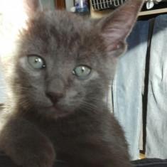 Pisicute Albastru de Rusia - Pisica de vanzare