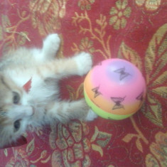Donez pisicuță - Pisica de vanzare