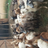 Van capre urgent! Capre de vanzare - Oi/capre