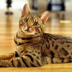 Pisica bengaleza - Pisica de vanzare