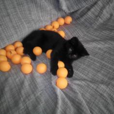 Pui de pisica - Pisica de vanzare