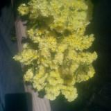Imortele - Plante naturale uscate - Limonium sinuatum - galben pai