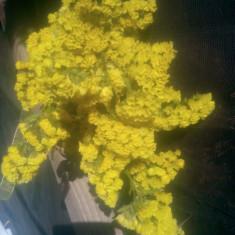 Imortele - Plante naturale uscate - Limonium sinuatum - galben