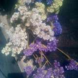 Imortele - Plante naturale uscate - Limonium sinuatum - mix color