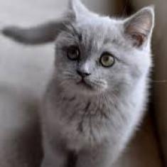 Pui pisica British - Pisica de vanzare