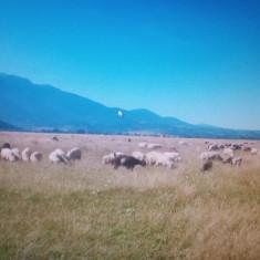 Oi Turcane - Oi/capre