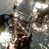 Capre si iedute murciano - Oi/capre