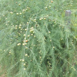 Sparanghel - Asparagus connover's colossal - 10 seminte
