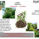Evodia - Evodia hupehensis - 20 seminte