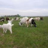 Capre - Oi/capre