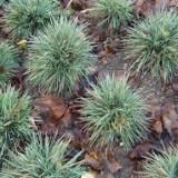 Koeleria glauca Coolio – iarba albastra