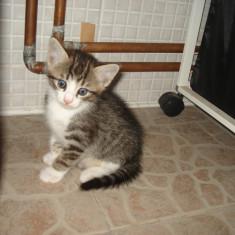 Ochios, jucaus, dulce si singurel, 7 saptamani, doritor de dragoste, atentie si joaca - Pisica de vanzare