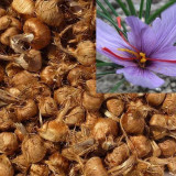 Bulbi sofran 16 bucati pentru flori si condiment