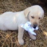 Catei labrador - Caini