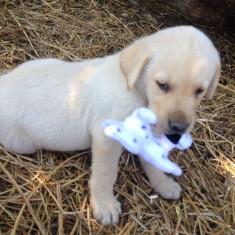 Catei labrador
