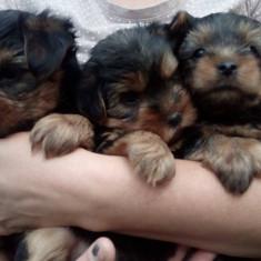 Vând pui yorkshire terrier - Caini