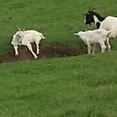 Vand 60 de capre (rasa Zana) cu tot cu iezi - Oi/capre